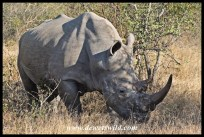 The south of Kruger is a stonghold of the white rhino