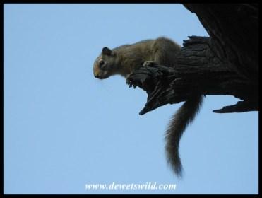 Squirrel at Skukuza Day Visitors Area