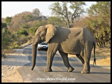 Elephant crossing the Napi Road (H1-1)