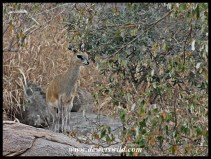 Klipspringer are commonly seen on the hills along the H1-1