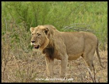 Young male lion along the Sabie River road