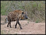 Hyenas on the S65