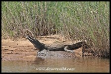 Crocodiles in the Sabie River