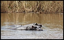 Hippos in the Sabie River