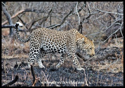 Leopard on the Maroela Loop