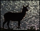 Waterbuck, Nsemani