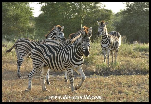 Zebra, S100