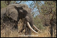 The biggest tusker we encountered on this trip