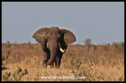 Tusker on the plains