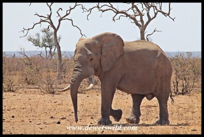 "Promising tusker, but seems to be suffering from ""floppy trunk"" disease"