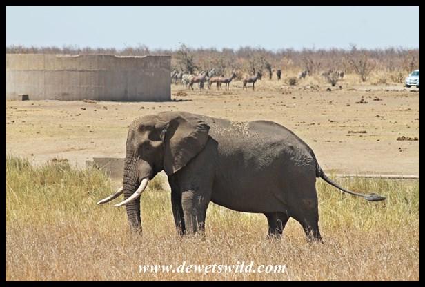 Elephant at Mooiplaas