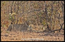 Lioness at Mooiplaas