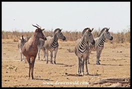 Tsessebe and zebra at Mooiplaas