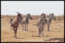Tsessebe and zebra at Mooiplaas