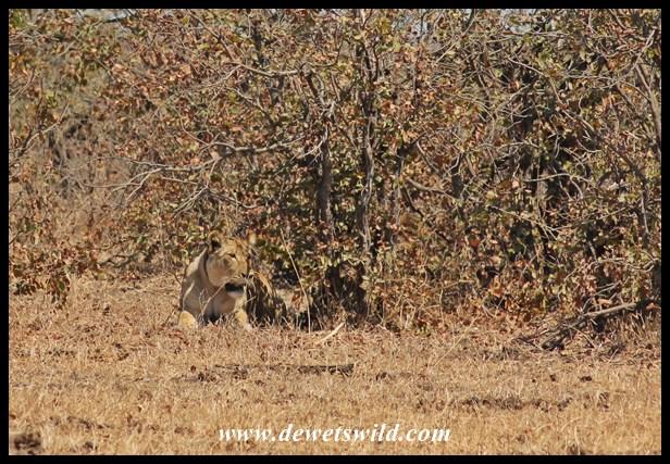 Lioness in hiding