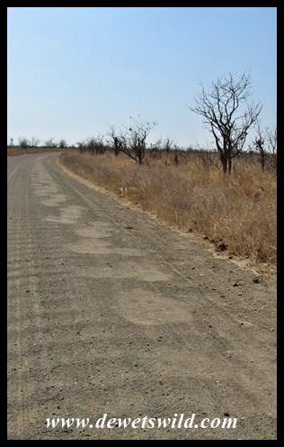 Elephants enjoy walking along roads