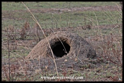 A gaping hole in a termite mound is a sure sign that it was visited by an aardvark at some stage
