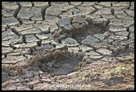 Elephant tracks in baked mud