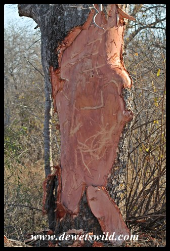 Marula tree debarked by an elephant