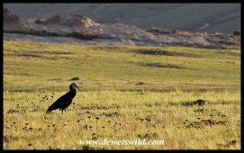 We had daily sightings of the rare bald ibis on the Oribi Loop at Golden Gate