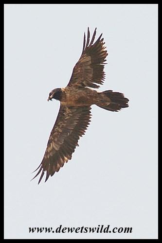 Endangered bearded vulture in flight