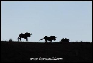 Black wildebeest seem to like running around...