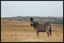Zebra in the mist