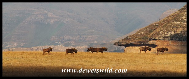 Black wildebeest, at rest for a change, on a plateau