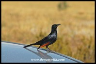 Red-winged starling looking after our car