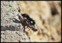 Industrious ant