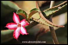 Impala lily and aloe thorns