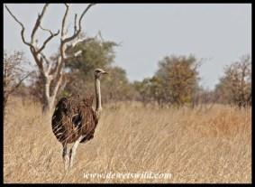 Ostrich near Tinhongonyeni, Kruger Park