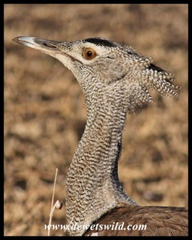 Kori bustard close-up
