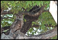 Verreaux's eagle-owl near Shingwedzi