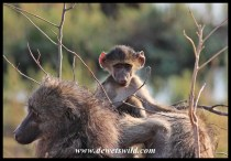 Baby baboon missing out on attention