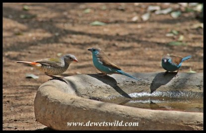 Feathered friends visiting our cottage at Shingwedzi: blue waxbills and a green-winged Pytilia