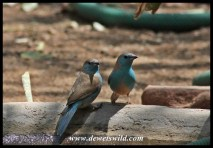 Feathered friends visiting our cottage at Shingwedzi: Blue waxbills