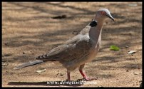 Feathered friends visiting our cottage at Shingwedzi: Mourning Dove
