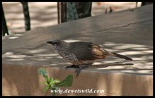 Feathered friends visiting our cottage at Shingwedzi: Arrow-marked babbler