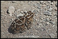 Tiny sandgrouse chick trying to hide on a gravel road