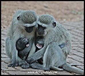 Vervet sisters with babies