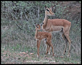 Impala bundle of joy