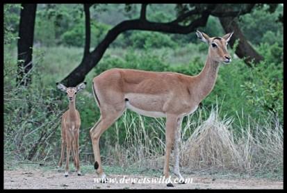 Impala lambing season