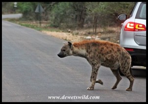 Hyenas are commonly encountered at Skukuza