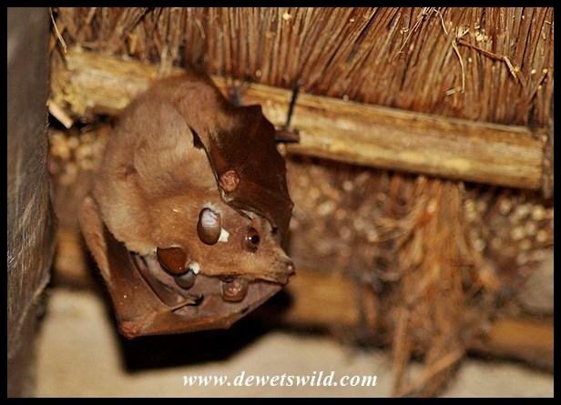 Fruit bats under the thatch of Skukuza's shop