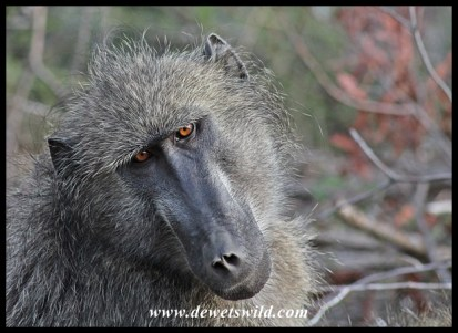Baboons abound along the Sabie