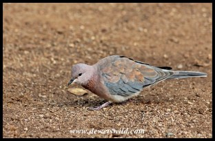 Laughing dove in Lower Sabie