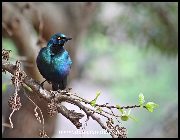Glossy starling in Lower Sabie
