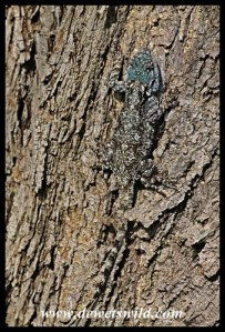 Expertly camouflaged tree agama