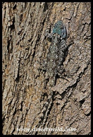 Expertly camouflaged tree agama